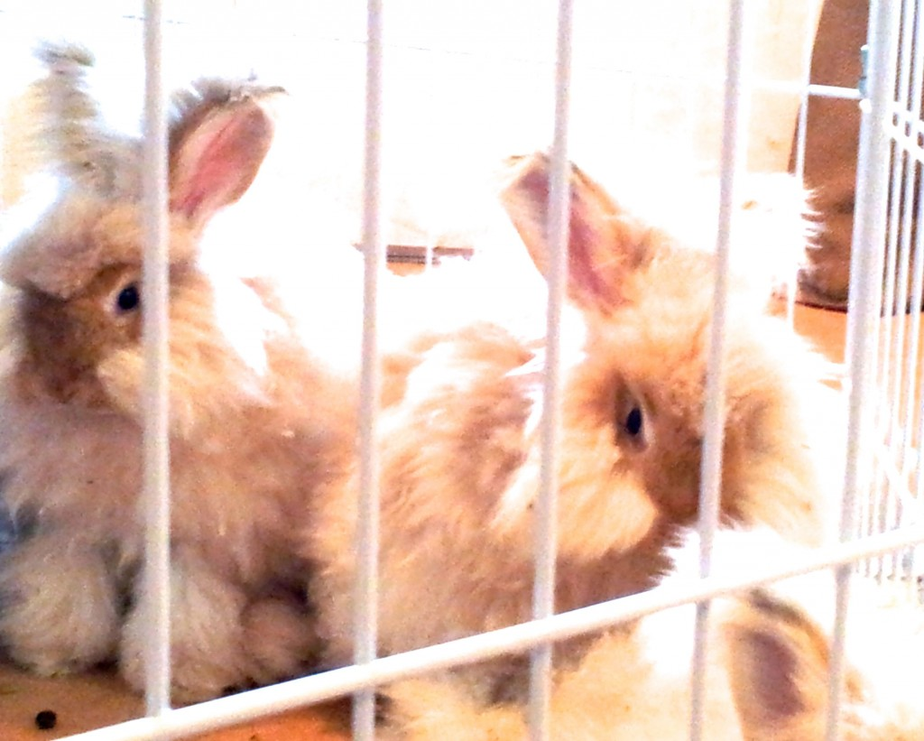 These rabbits were for sale at the local pet store, Your Basic Bird.
